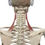 肩こりの隠れた原因 肩甲挙筋ストレッチ